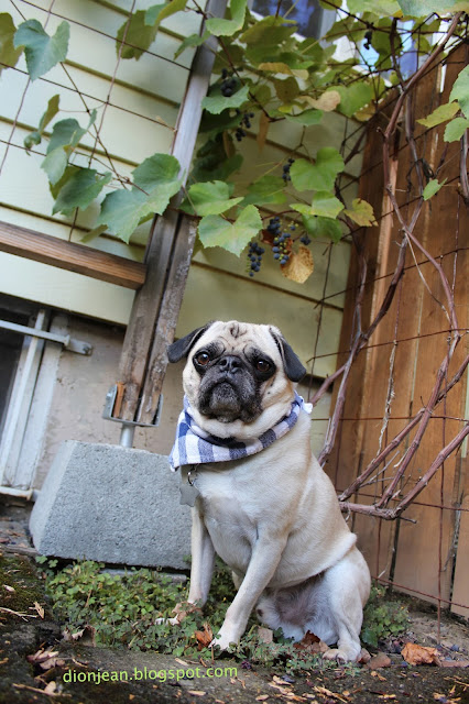 Liam the pug in front of grapes