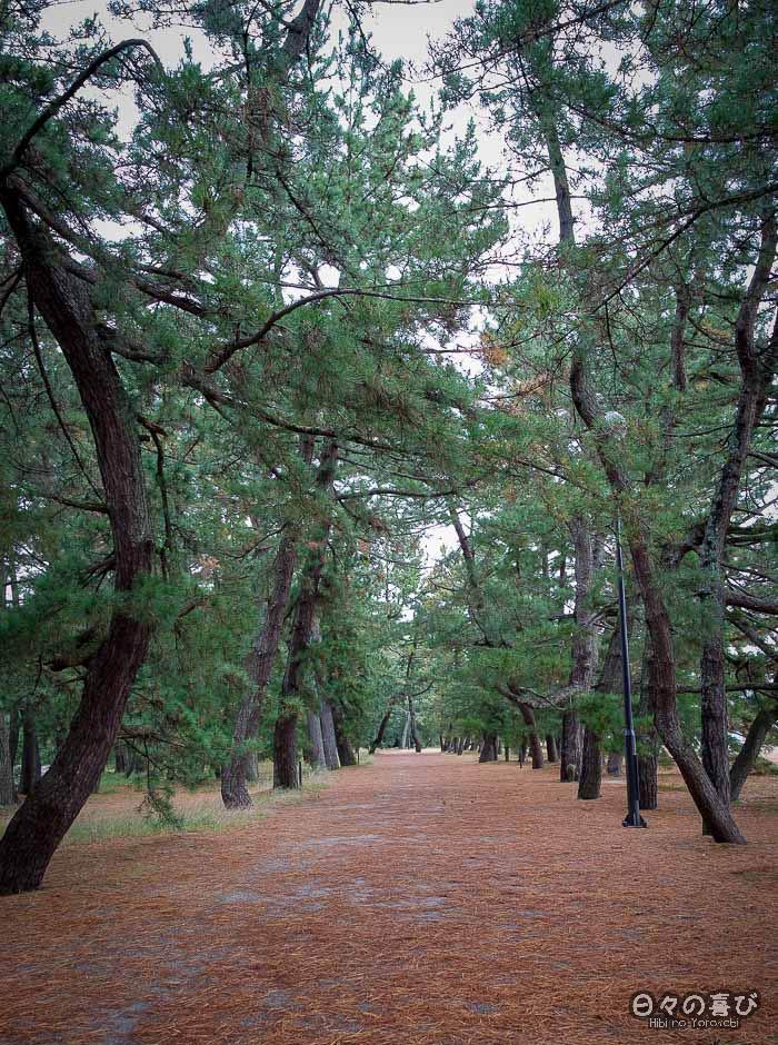 Allée dans la forêt de pins, Amanohashidate, Kyoto