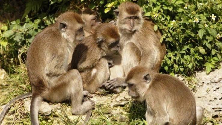 Kawanan Monyet Bawa Kabur Sampel Darah Pasien Corona