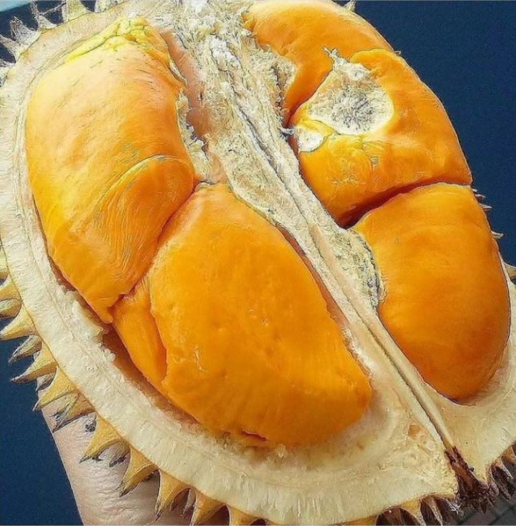 bibit tanaman buah durian Montong kaki 3 okulasi cepat berbuah Maluku