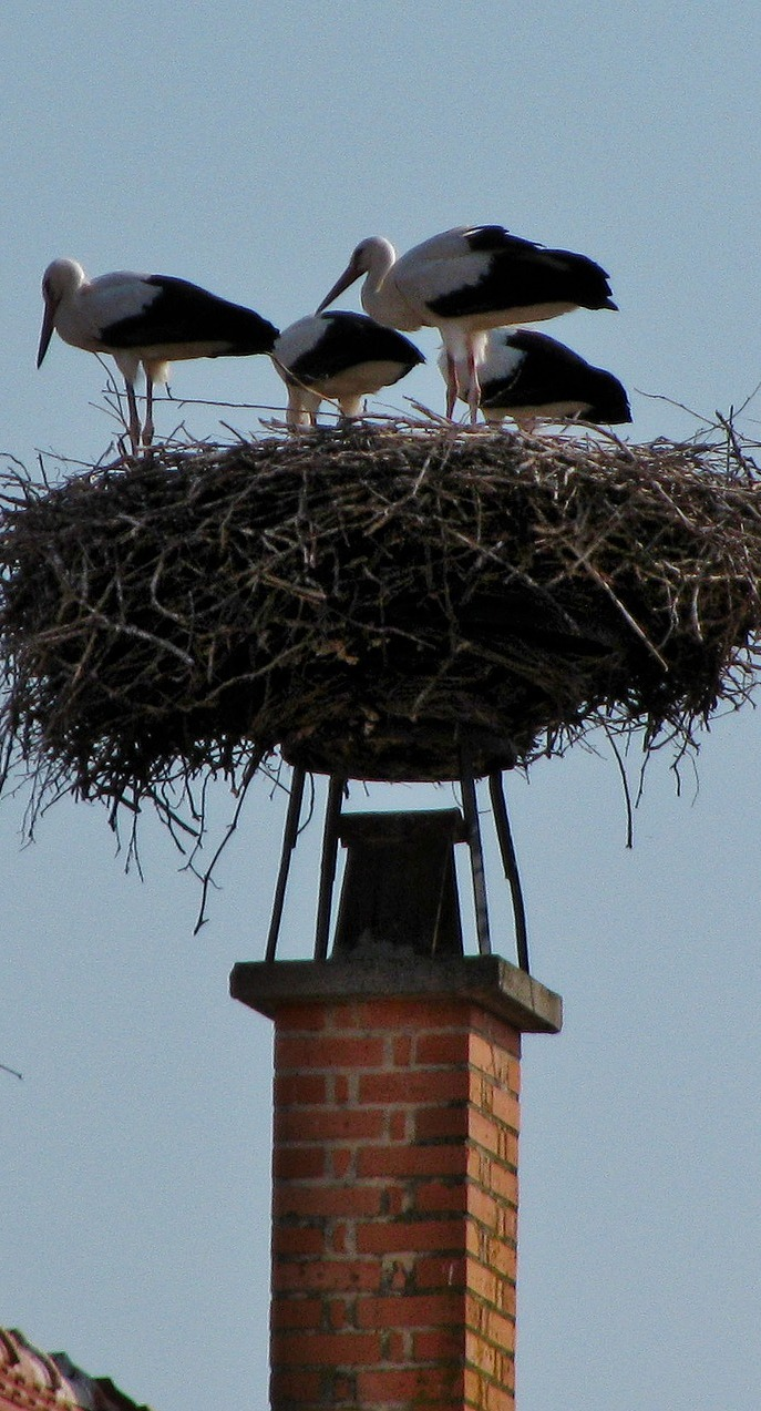 Storks nesting on top of a chimney.