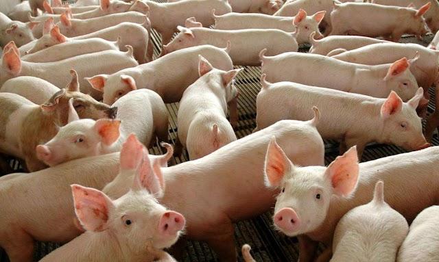 Ministério promove ação para evitar entrada da peste suína no país