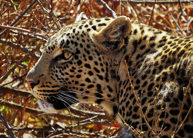 First global analysis indicates leopards have lost nearly 75 percent of their historic range