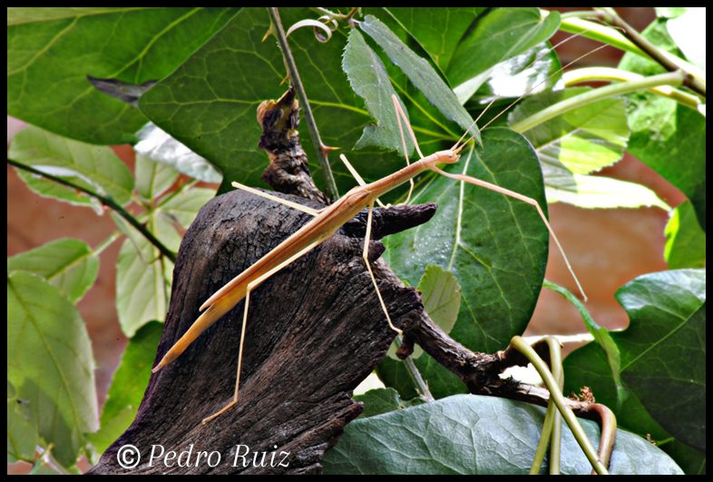 Hembra adulta de Sipyloidea sipylus