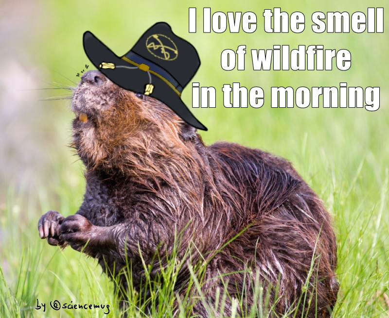 """Beaver with air cavalry hat says:""""I love the smell of wildfires in the morning"""" (by @sciencemug)"""