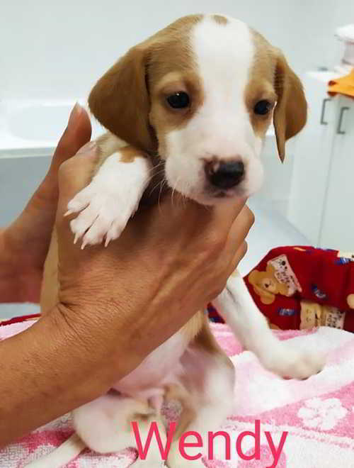 mestizo beagle 4