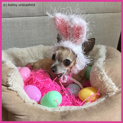 chihuahua bailey with bunny ears