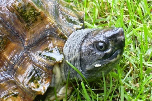 Penyakit lumut kura-kura.