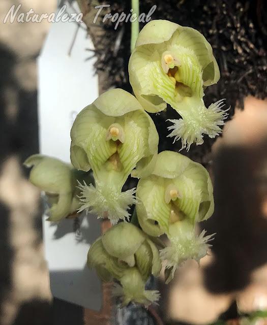 Flores típicas de la exótica orquídea Clowesia warczewiczii. Esta especie es cercana genéticamente a los populares Catasetum y Cycnoches. Sus flores son muy aromáticas.