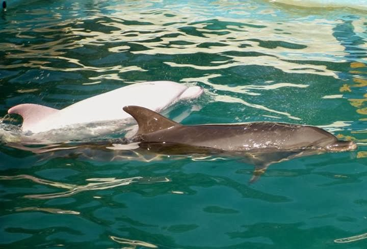 Baffling Scientists, This Rare Albino Dolphin Turns Pink ...  |Albinism In Dolphins