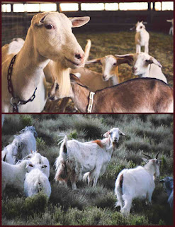 Goat farming in hindi