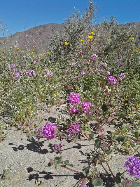Sand Verbena and Desert Sunflower