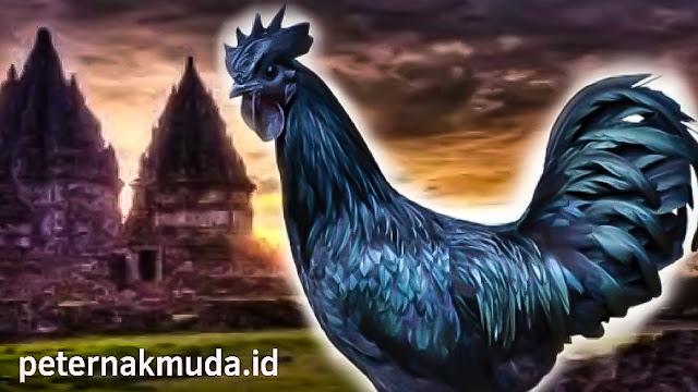 Gambar Ayam Bangsawan