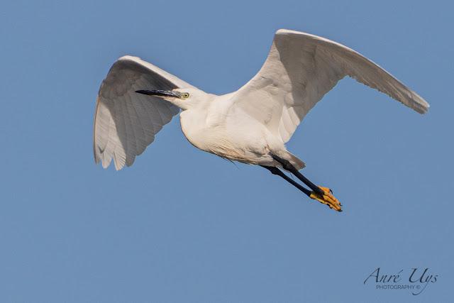 Little Egret in Flight Milnerton