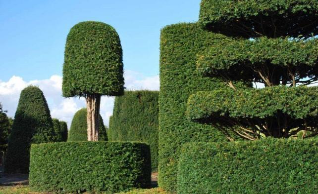 Вечнозеленый тис в ландшафтном дизайне – фото и описание