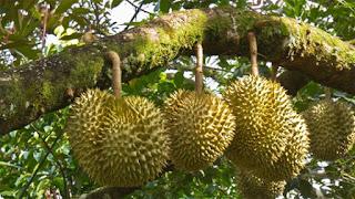 Kích thích sầu riêng ra hoa trái vụ