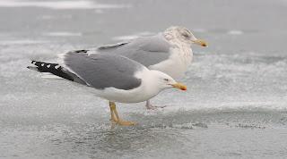 Yellow-legged Gull, Newfoundland