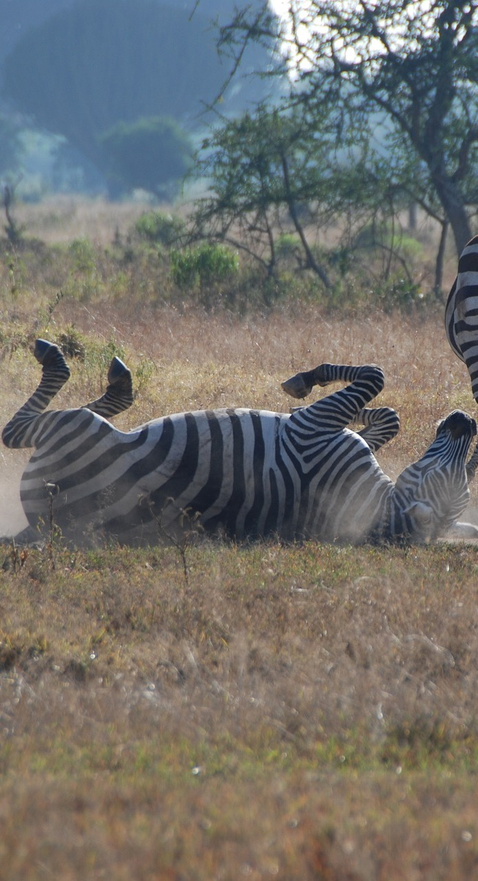 A dust bath for a zebra.