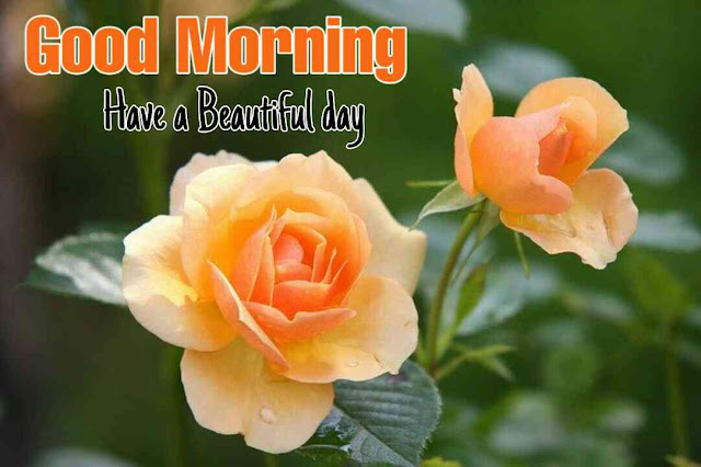 Awesome Good Morrning image with nature yellow rose flower have a beautiful day