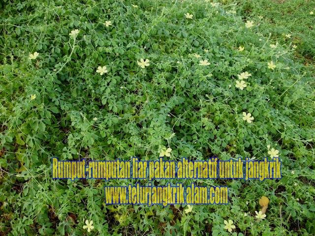 rumput liar pakan jangkrik