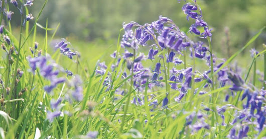 weald - UK adventures: In search of bluebells at Ashridge Estate...