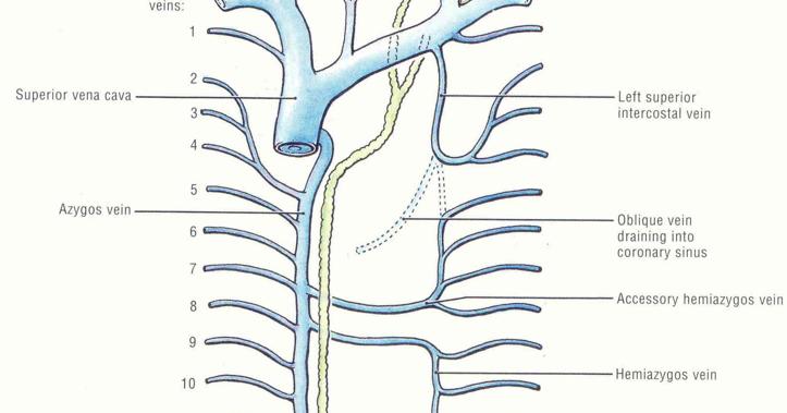 Pedi cardiology Innominate Vein Tributories Netter diagram