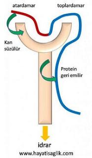idrardan proteinin geri emilimi