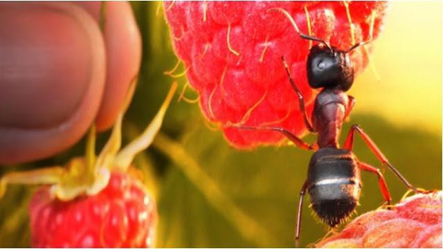 Cara Mengatasi Semut Dengan Bahan Dapur