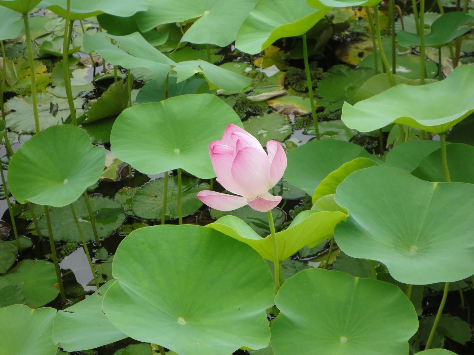 Padma lotus nelumbo nucifera common names padma poddo lotus indian lotus sacred lotus izmirmasajfo