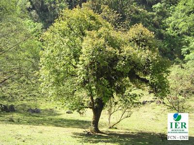 Palo luz (Prunus tucumanensis)