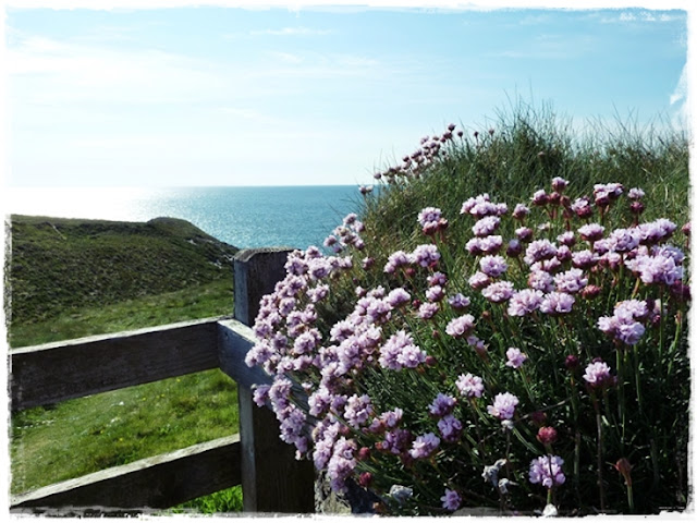 thrift-in-flower-cornwall