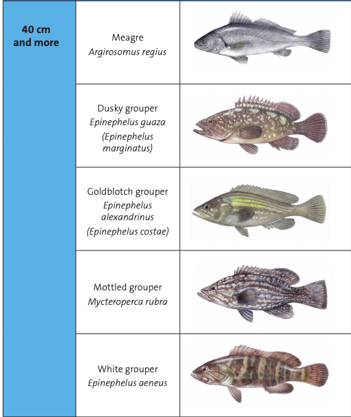Israel Fishing Grouper Catch and Size Limits