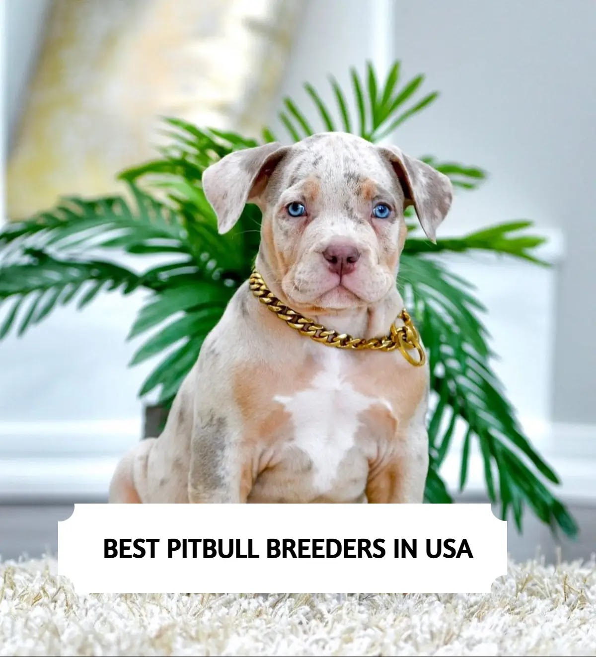 Best Pitbull Breeders in the USA