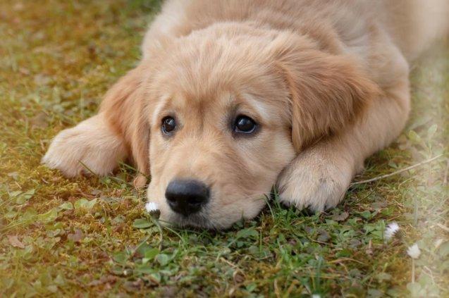 क्या कुत्तों के लिए चॉकलेट जहरीला होता है? कुत्तों को चॉकलेट नही खिलानी चाहिए क्यों, जानिए