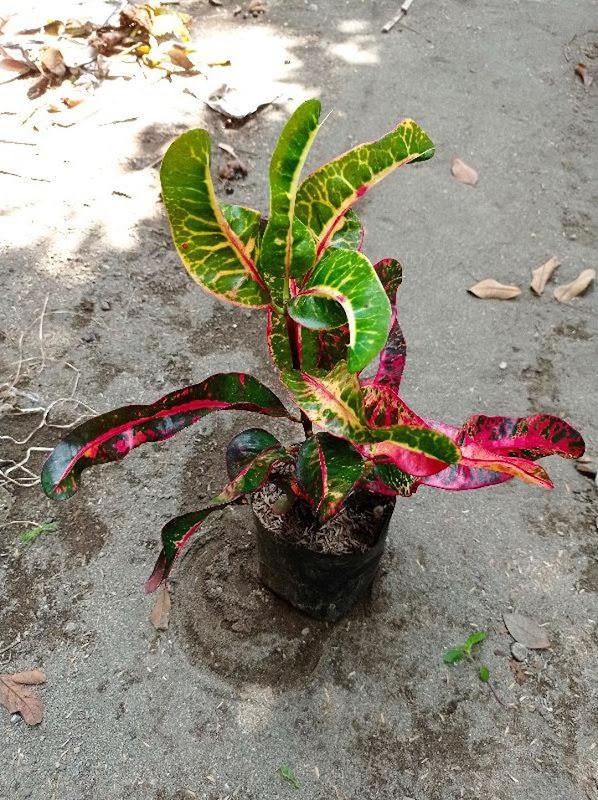 bibit tanaman hias bunga puring kirana merah Gorontalo