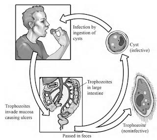 Balantidium coli, siliata, parasit pada manusia