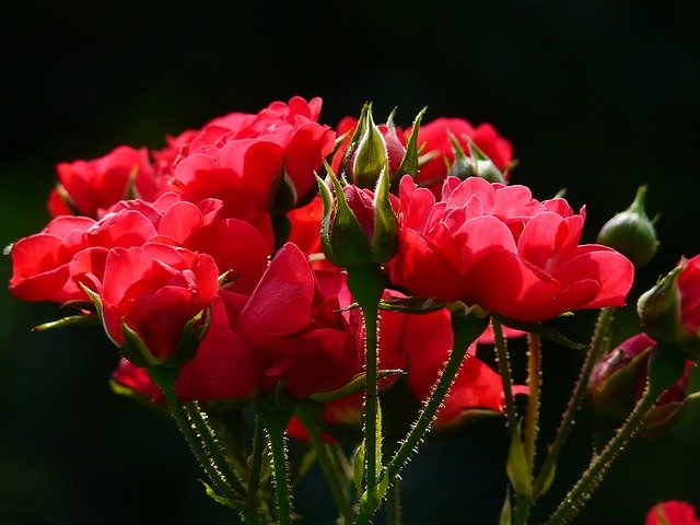 Red Images of Rose
