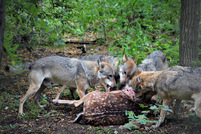 co jedzą wilki