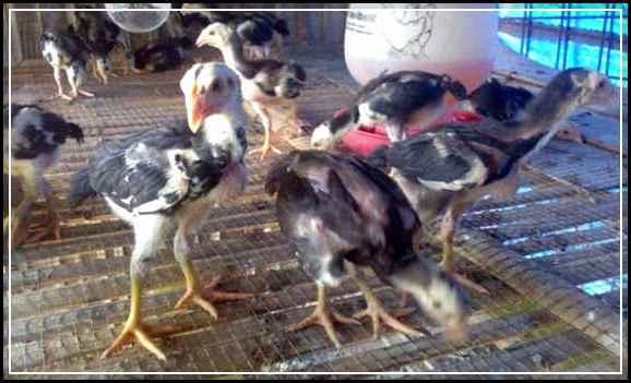 Foto Ayam Siam Yg Bagus 5 Tips Memilih Anak Ayam Bangkok Bagus Untuk Hasil Ternak Yang