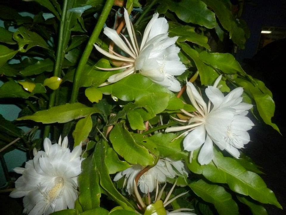 V E R D E C H A C O Epiphyllum Reina De La Noche