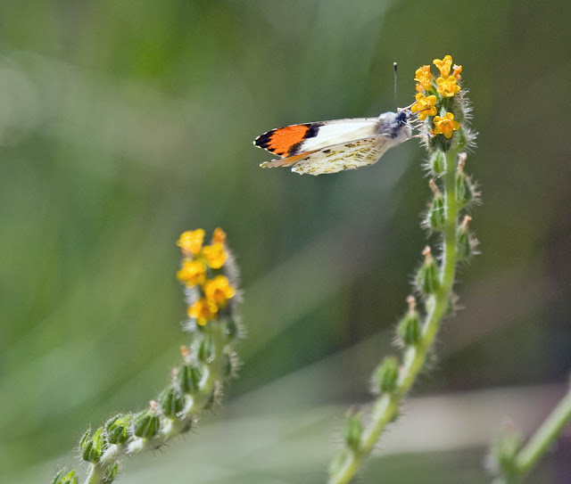 Pacific Orangetip on Fiddleneck at San Dieguito River Park