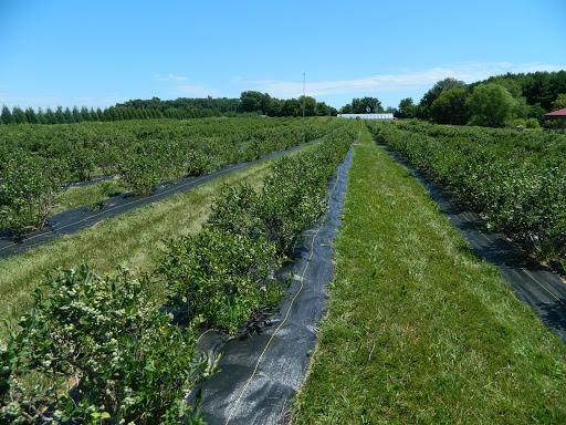 Blueberry-field