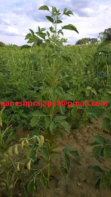 Guar, guar gum, guar report, guar  report, guar gum price, guar gum demand guar seed production, guar gum stock,  guar gum cultivation, NCDEX guar gum , Guar gum farming, guar gum export from india, ग्वार, ग्वार गम,