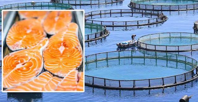 Farmed Salmon Is A Toxic Junk Food