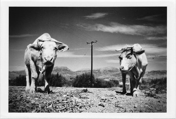 dirty photos - et - a black and white photo of two cows in crete
