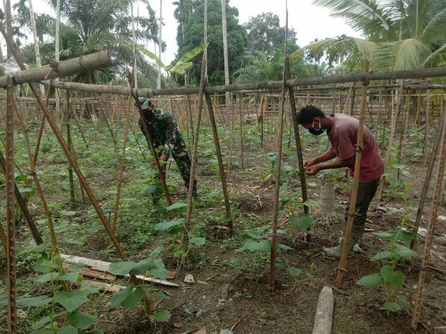 Serda Anthony Babinsa Koramil 28/Pirak Timu tetap setia Dampingi petani Mentimun