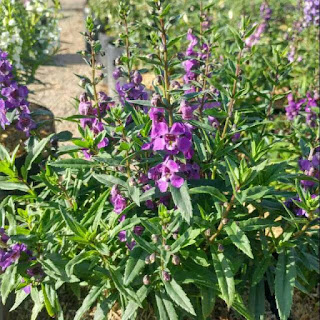 jual-bunga-lavender-lokal.jpg