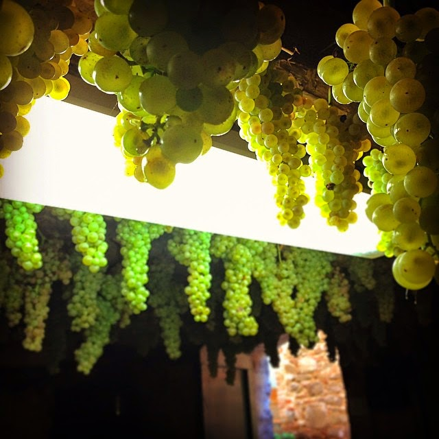 White wine grapes in a cellar in Montalcino