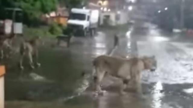 खाने की तलाश में सड़क पर निकले शेर, दिखा 7 शेरों का झुण्ड