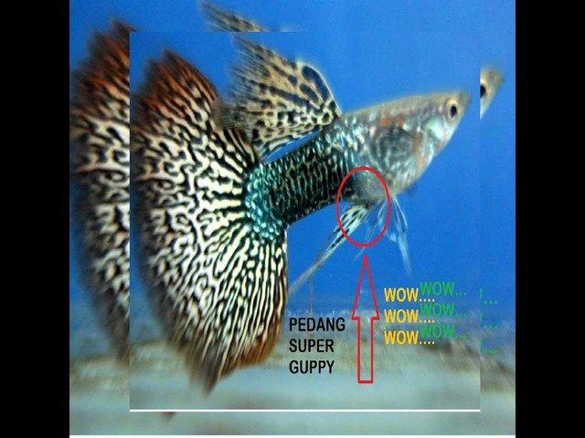 Gambar dan Foto Ikan Hias Kecil